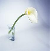 A white calla lily