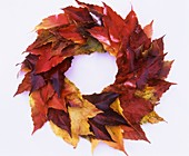 Wreath of autumn foliage of Boston ivy
