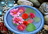 Dahlia flowers and nasturtium leaves in blue bowl