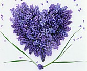 Grape hyacinths forming a heart