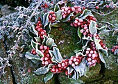 Holly wreath with hoar frost