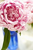 Rosafarbene Pfingstrosenblüte