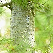Conifer trunk with resin