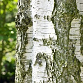 Stem of upright silver birch (Betula pendula Fastigiata)