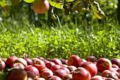 Viele Äpfel der Sorte 'Benoni' unter dem Apfelbaum