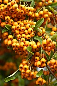 Firethorn (Pyracantha) berries on the bush