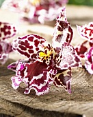 Orchid flower, variety: Cambria bicolor