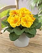 Primula acaulis, variety: Hethor Gold Orange