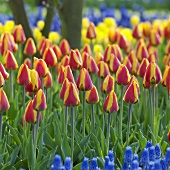 Tulips, variety: Bright Flair, in garden