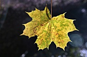 Maple leaf with autumn tints