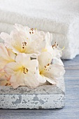White rhododendron flowers in front of towels