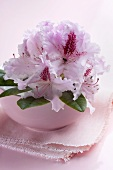 Pink rhododendron flowers in bowl