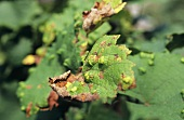 Damage caused by vine leaf gall mite (aka grape bud mite)