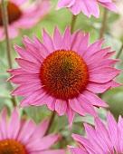Echinacea flowers, variety 'Ruby Giant'