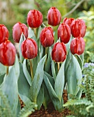 Red tulips, variety 'Arma'