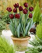 Tulips, variety 'Black Jack'