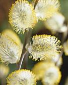 Pussy willow catkins of dwarf weeping willow (Salix caprea 'Kilmarnock')