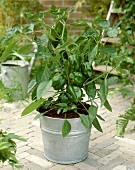 Pepper plant with green peppers in tub