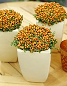 Coral bead plant (Nertera granadensis)