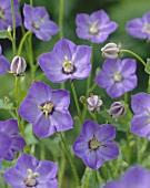 Purple campanulas (Campanula 'Samantha')