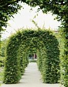 Garden with hornbeam arch (Carpinus betulus)