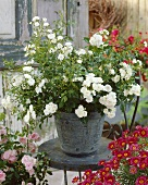 'White Fairy' roses in pot