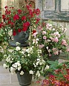 Red, pink and white roses in pots