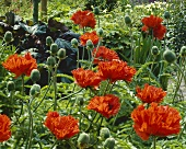 Orential poppy (Papaver 'Turkenlouis')