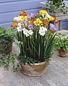 Mixed freesias in planter