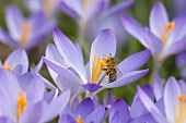 Crocusses and a bee