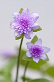 Japanese liverwort flower (hepatica japonica orihime)