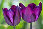 Two violet tulips