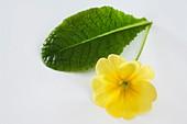 Primrose (Primula vulgaris syn. acaulis)