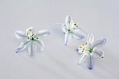Einzelne Blüten von Blausternchen (Scilla mischtschenkoana)