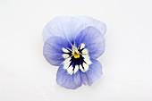 Horned violet flower (Viola cornuta 'Callisto Marina')