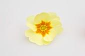 Primrose flower (Primula vulgaris syn. acaulis)