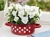 White pansies in spotted enamel pan