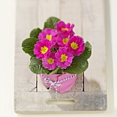 Pink primulas in home-made cache-pot