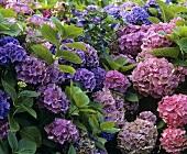 Hydrangeas in a garden