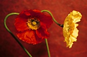 Red & yellow Iceland poppies (Papaver nudicaule, ornamental)