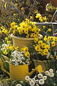 Yellow violas and white Bellis in garden