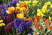 Mixed flowering bulbs: tulips, narcissi, hyacinths