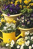 Pansies (Viola), daisies (Bellis) etc. in garden