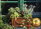 Chrysanthemum, ivy, bergenia, sage & curry plant in a planter