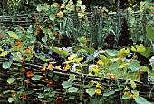 Nasturtiums trailing over garden fence