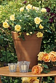 Miniature rose 'Guletta' (polyantha rose) in flowerpot