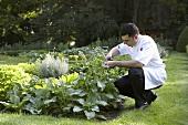Koch pflückt Kräuter im Garten