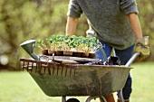 Gardener pushing wheelbarrow with nasturtiums and tools