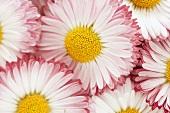 Several daisies