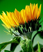 A sunflower against a green background